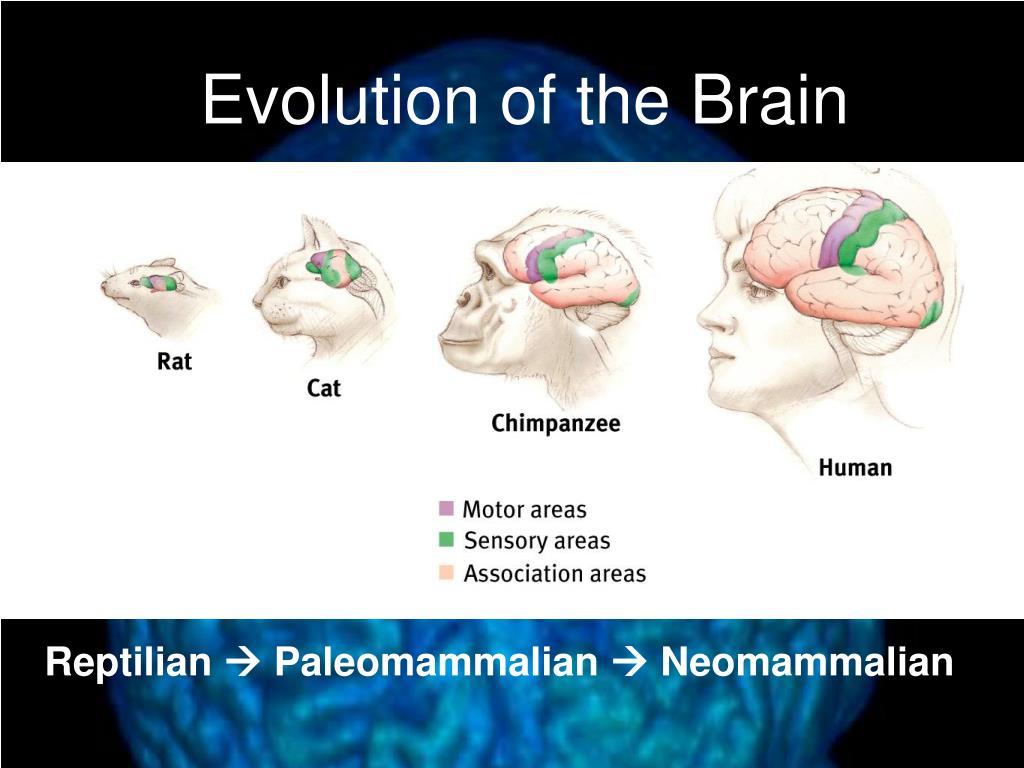 PPT - Brain Structure ...