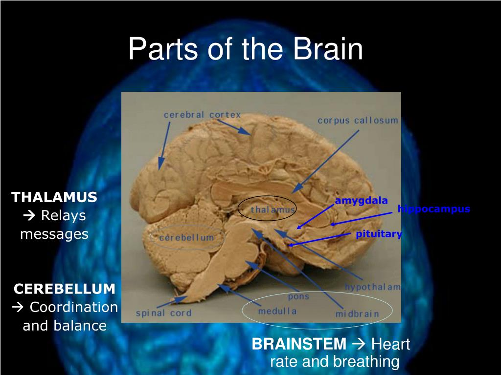 PPT - Brain Structure and Function PowerPoint Presentation ...