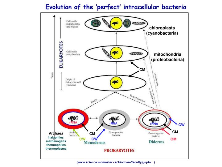 Evolution of the 'perfect' intracellular bacteria