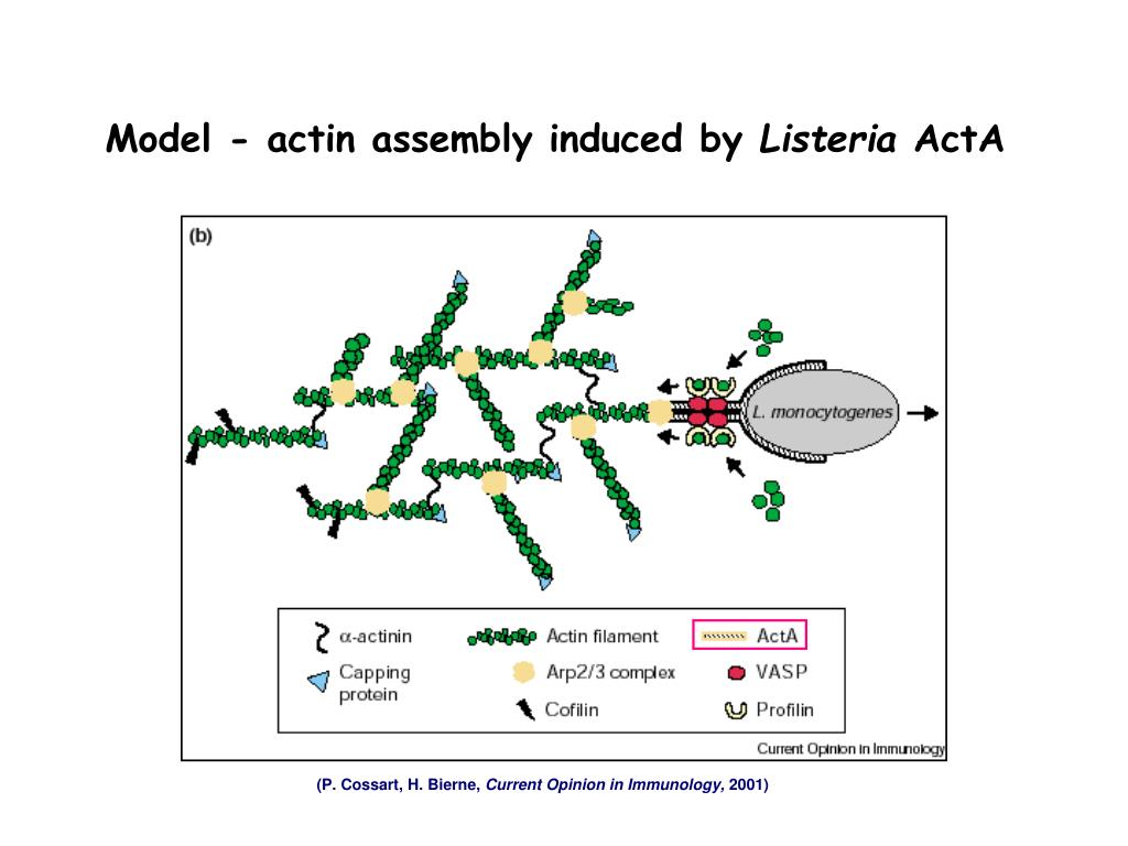 Model - actin assembly induced by