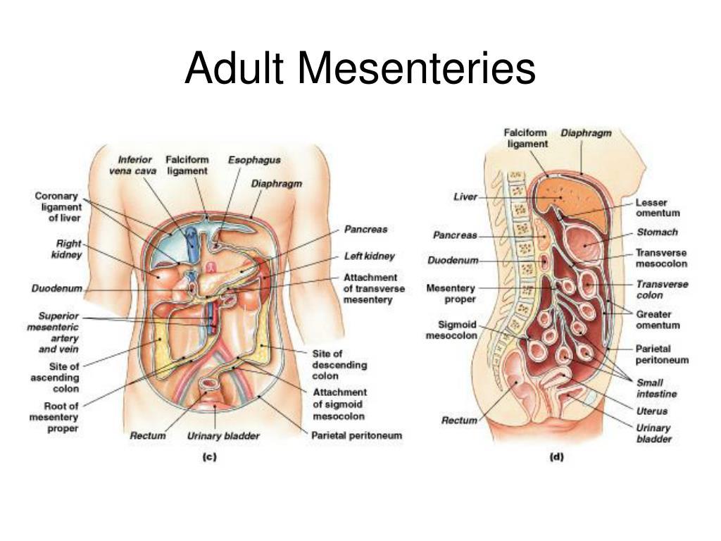 Adult Mesenteries