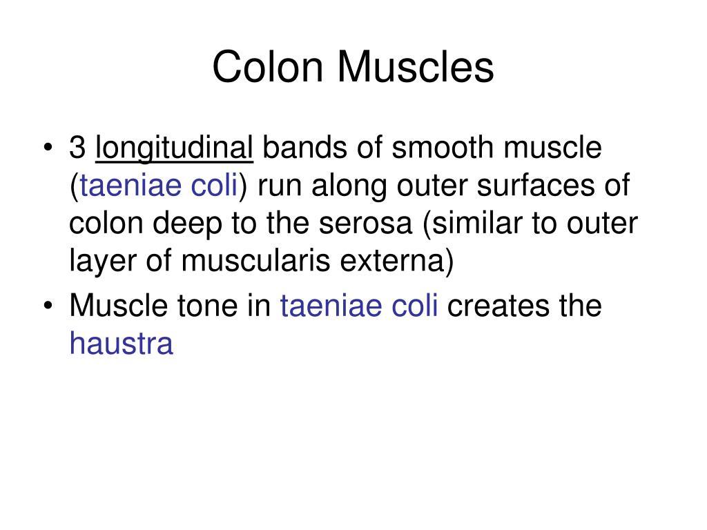 Colon Muscles