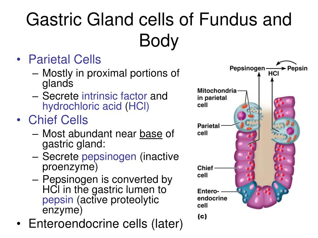 Gastric Gland cells of Fundus and Body