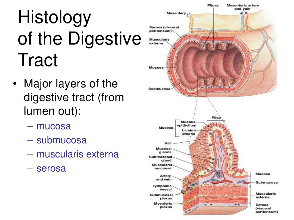 Major layers of the digestive tract (from lumen out):