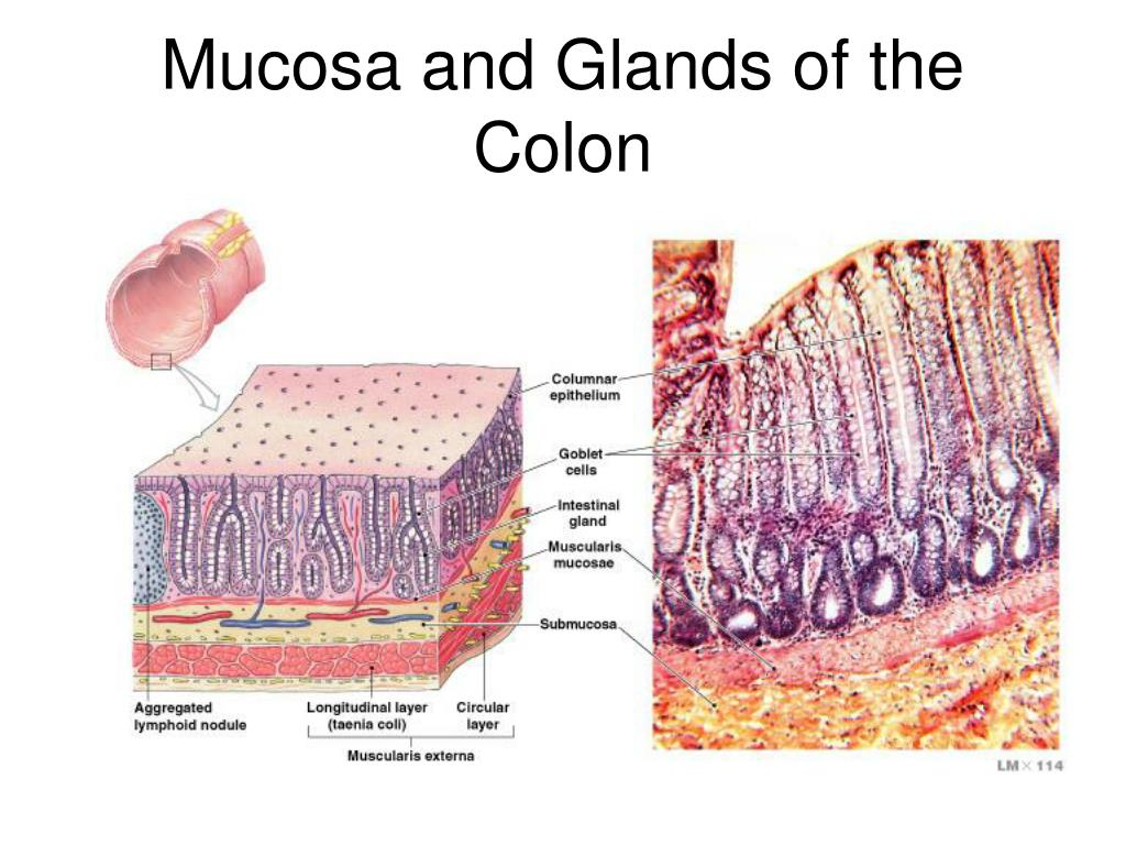Mucosa and Glands of the Colon