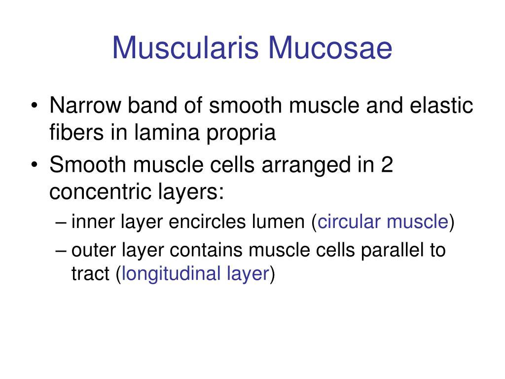 Muscularis Mucosae