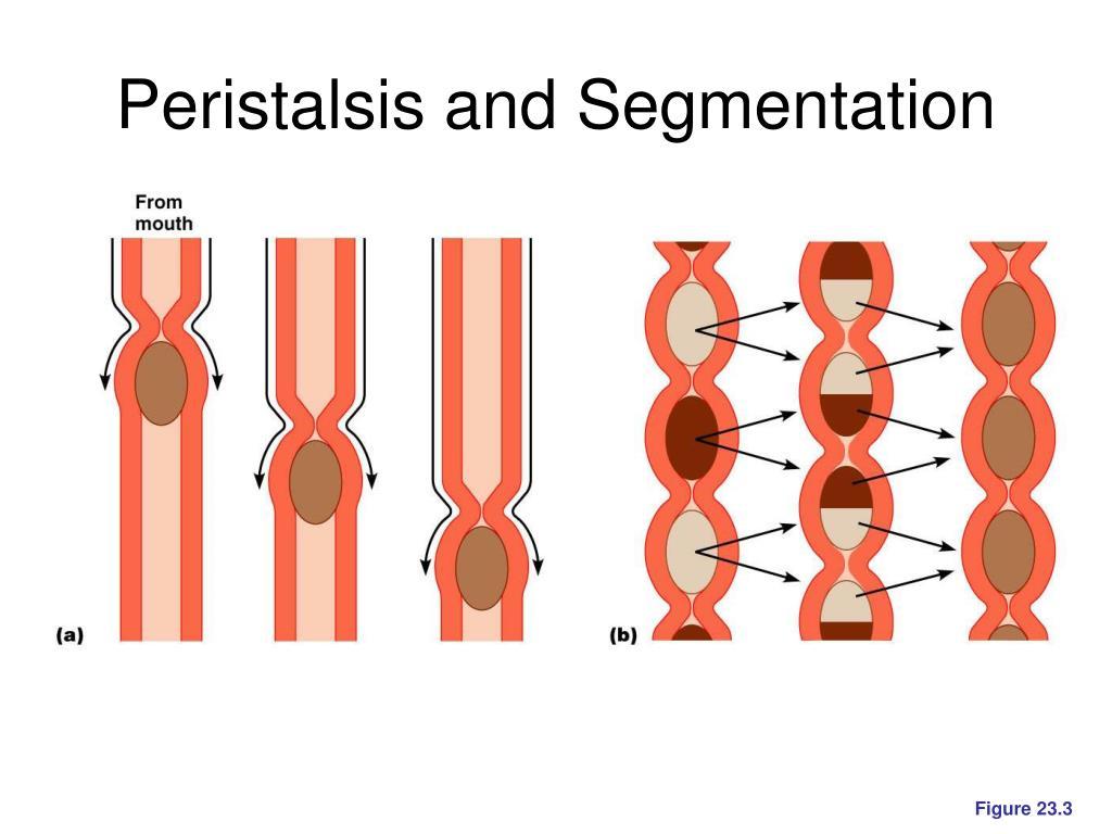 Peristalsis and Segmentation