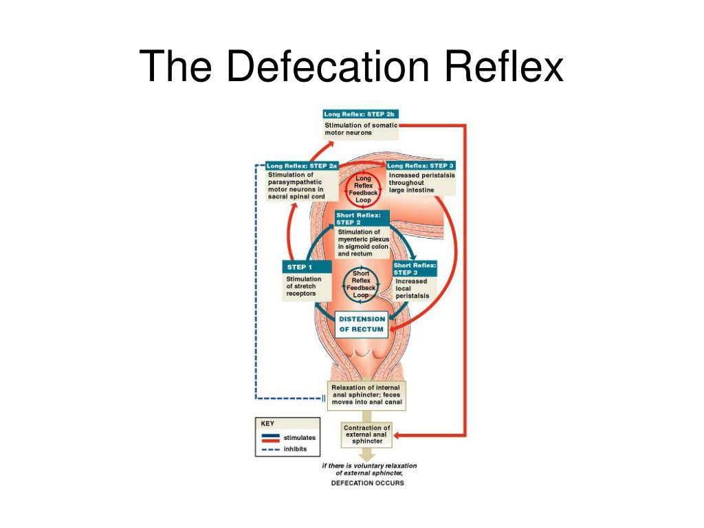 The Defecation Reflex