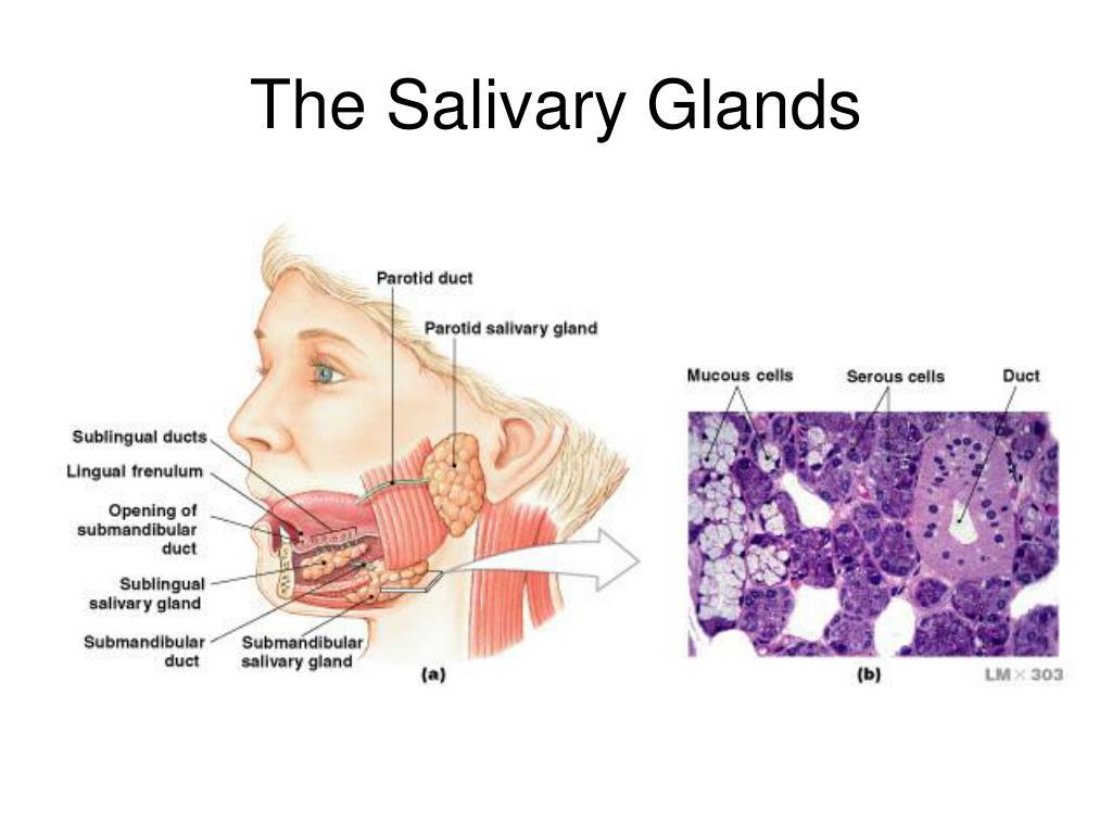The Salivary Glands