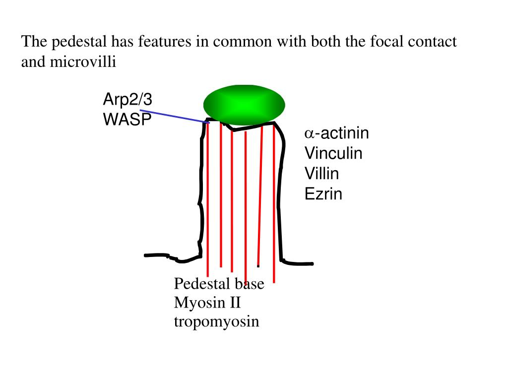 The pedestal has features in common with both the focal contact and microvilli