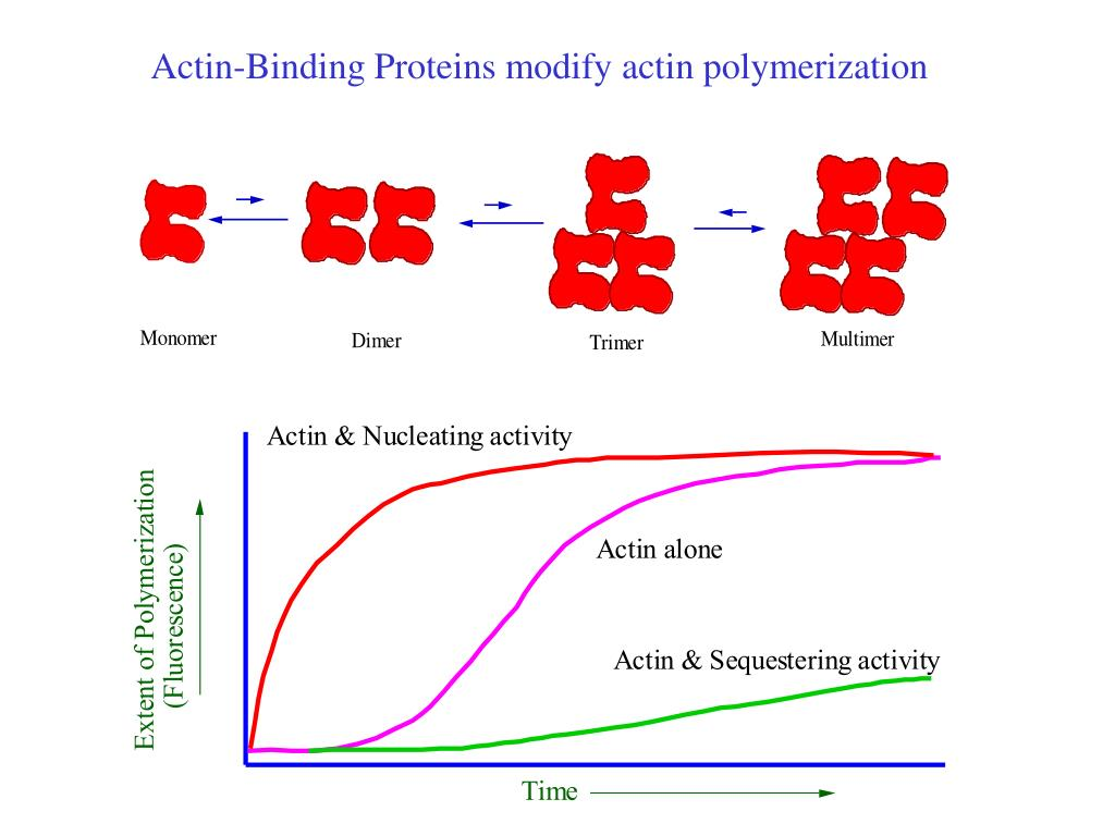 Actin-Binding Proteins modify actin polymerization