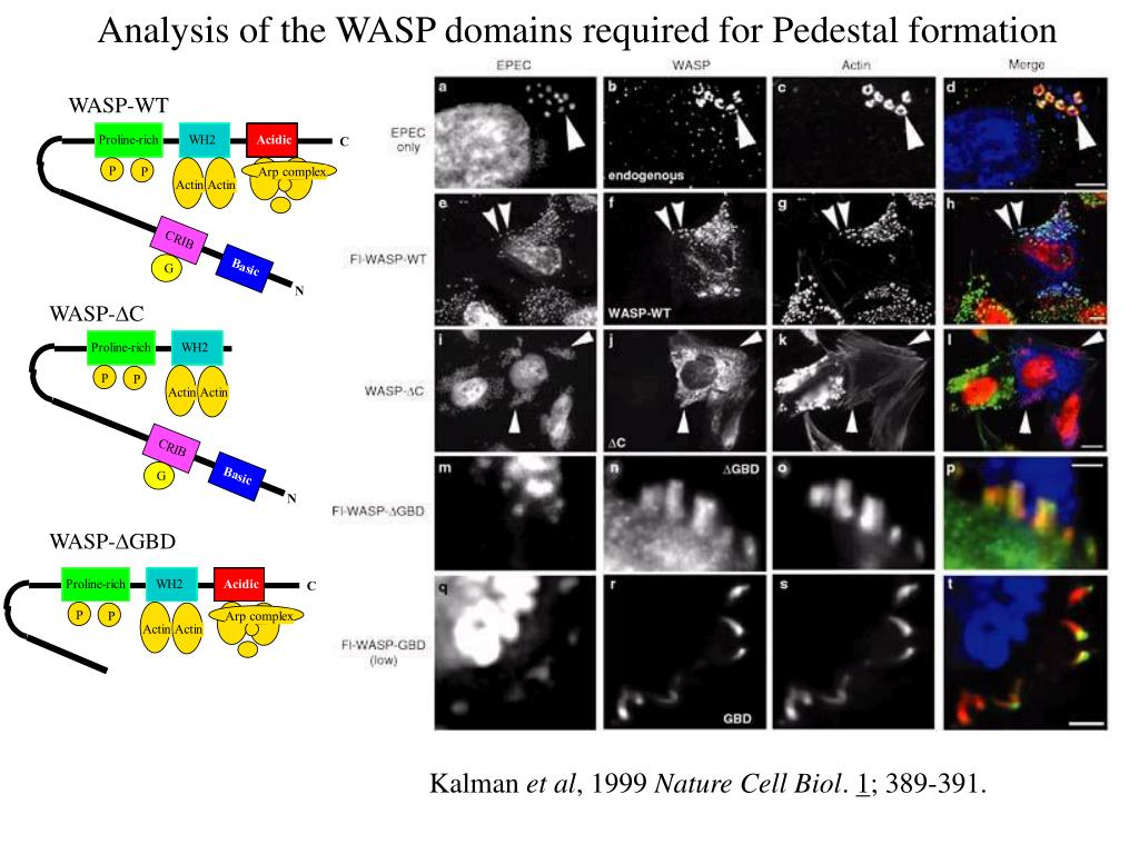 Analysis of the WASP domains required for Pedestal formation