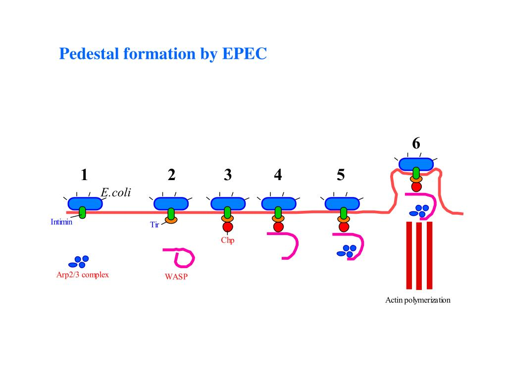 Pedestal formation by EPEC