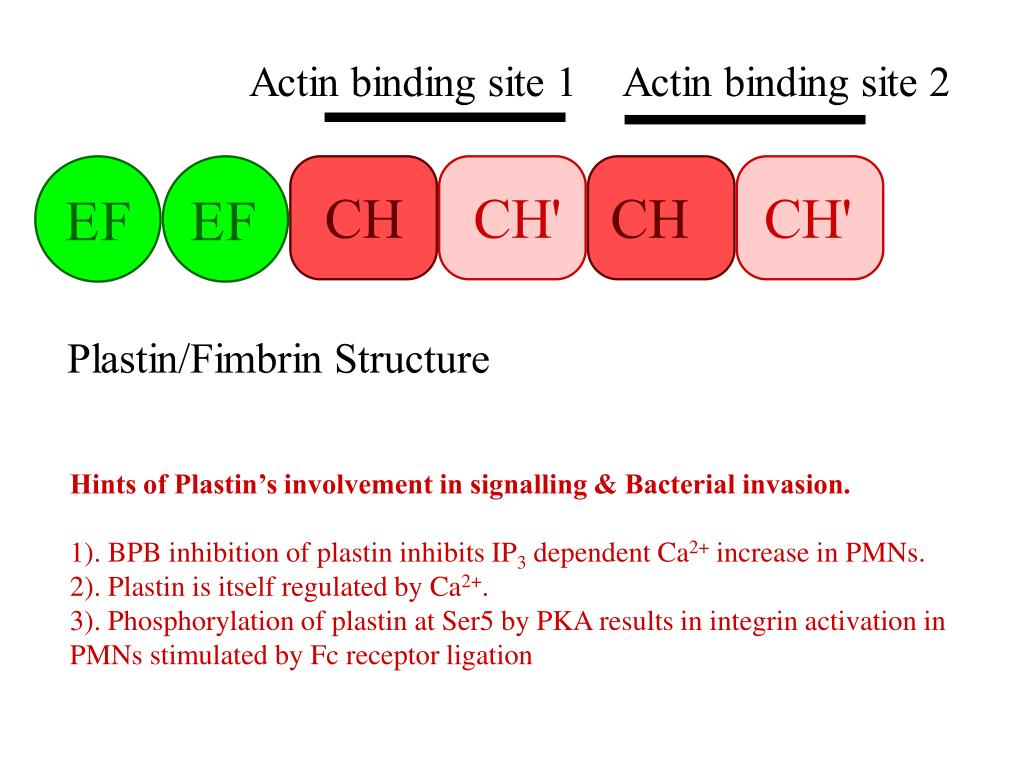 Hints of Plastin's involvement in signalling & Bacterial invasion.