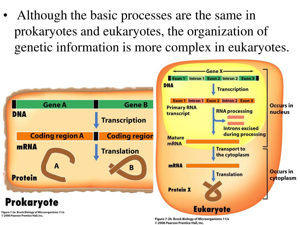 Although the basic processes are the same in prokaryotes and eukaryotes, the organization of genetic information is more complex in eukaryotes.
