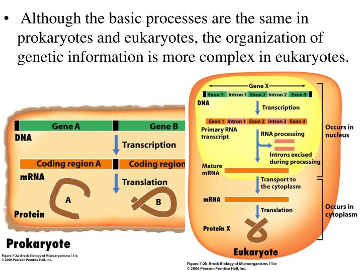 Although the basic processes are the same in prokaryotes and eukaryotes, the organization of geneti...