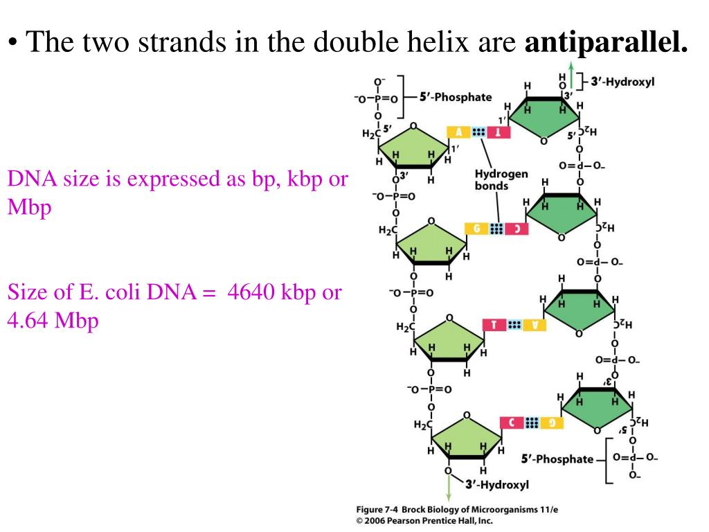 DNA size is expressed as bp, kbp or Mbp