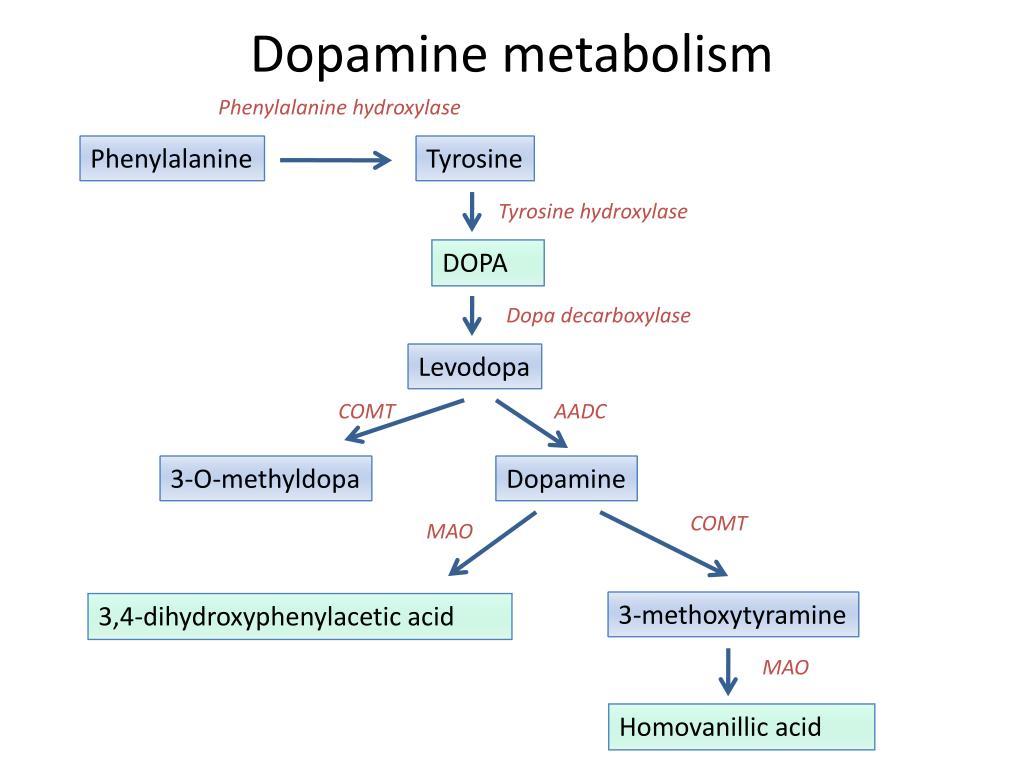 Dopamine metabolism