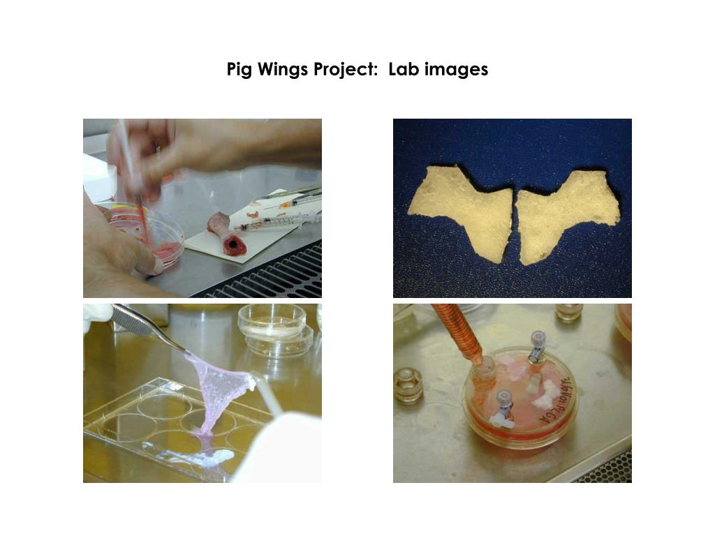 Pig Wings Project:  Lab images