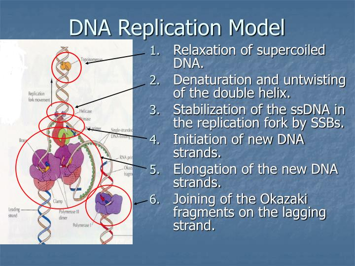DNA Replication Model