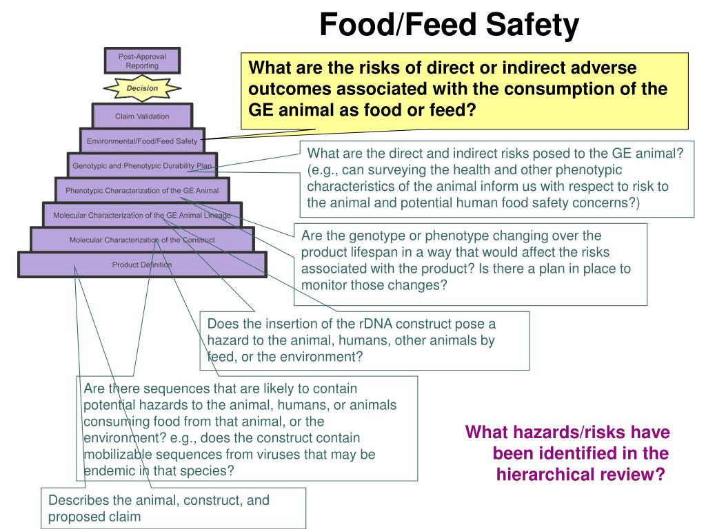 What are the risks of direct or indirect adverse outcomes associated with the consumption of the GE animal as food or feed?