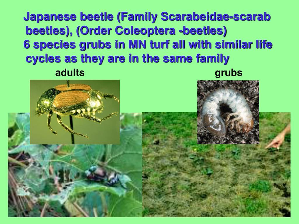 Japanese beetle (Family Scarabeidae-scarab beetles), (Order Coleoptera -beetles)