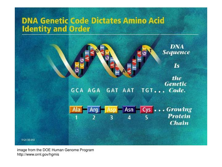 image from the DOE Human Genome Program