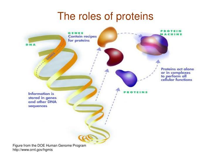 The roles of proteins
