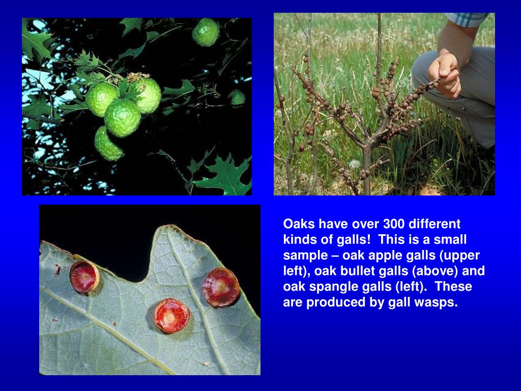 Oaks have over 300 different kinds of galls!  This is a small sample – oak apple galls (upper left), oak bullet galls (above) and oak spangle galls (left).  These are produced by gall wasps.