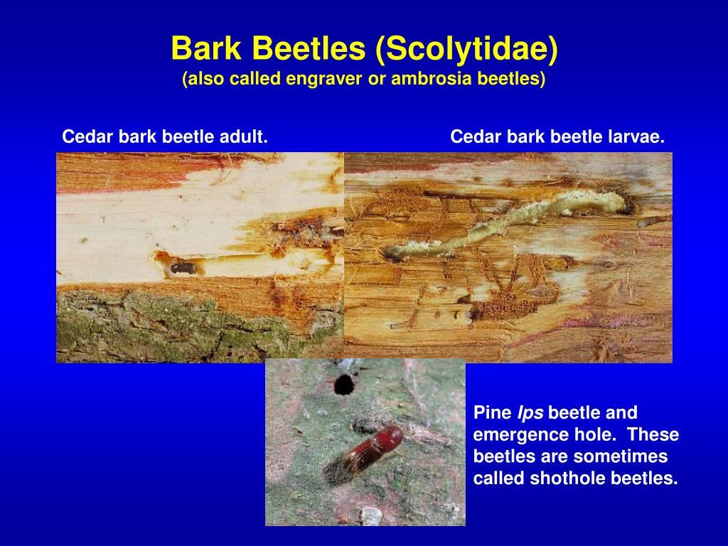 Bark Beetles (Scolytidae)