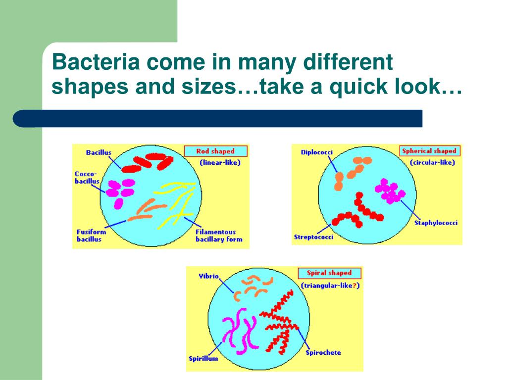 Bacteria come in many different shapes and sizes…take a quick look…