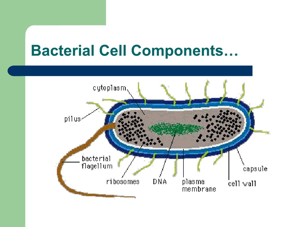Bacterial Cell Components…