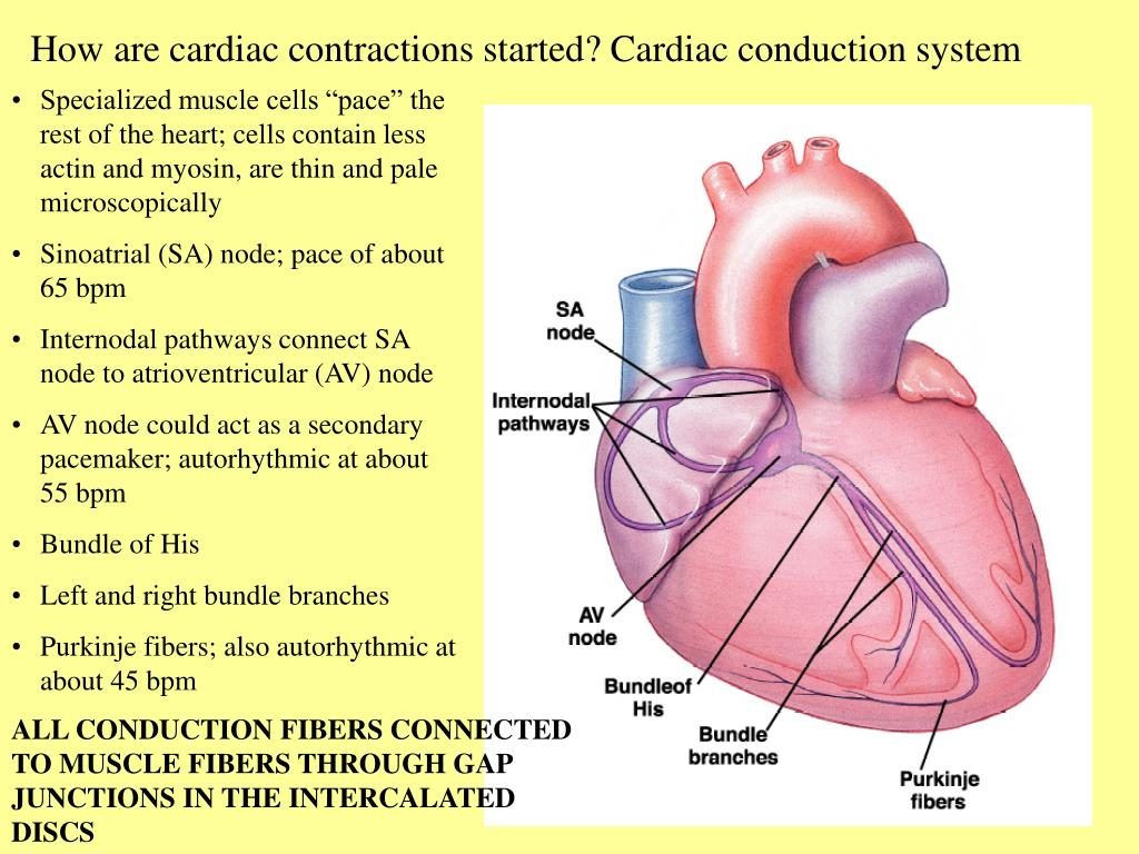 How are cardiac contractions started? Cardiac conduction system