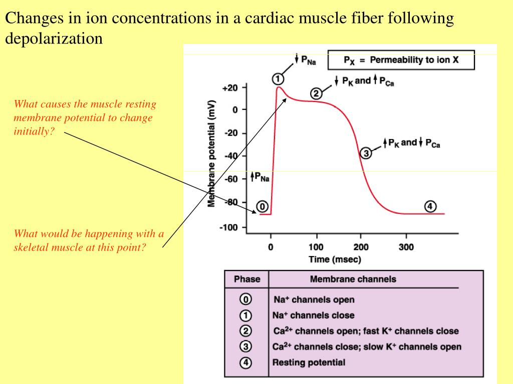 Changes in ion concentrations in a cardiac muscle fiber following depolarization
