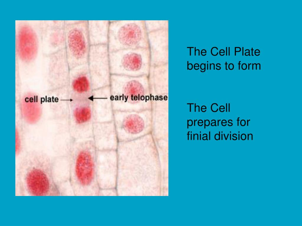 The Cell Plate begins to form