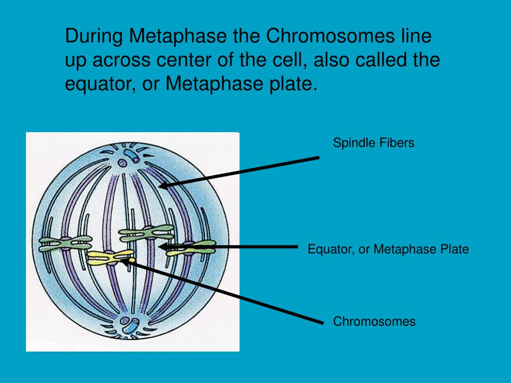 During Metaphase the Chromosomes line up across center of the cell, also called the equator, or Metaphase plate.