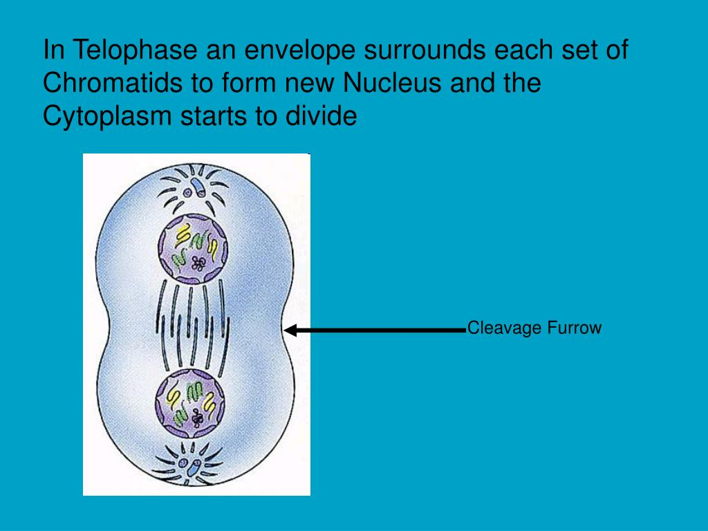 In Telophase an envelope surrounds each set of Chromatids to form new Nucleus and the Cytoplasm starts to divide