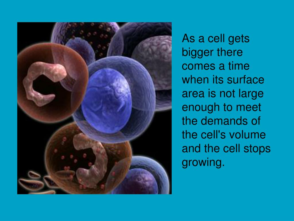 As a cell gets bigger there comes a time when its surface area is not large enough to meet the demands of the cell's volume and the cell stops growing.