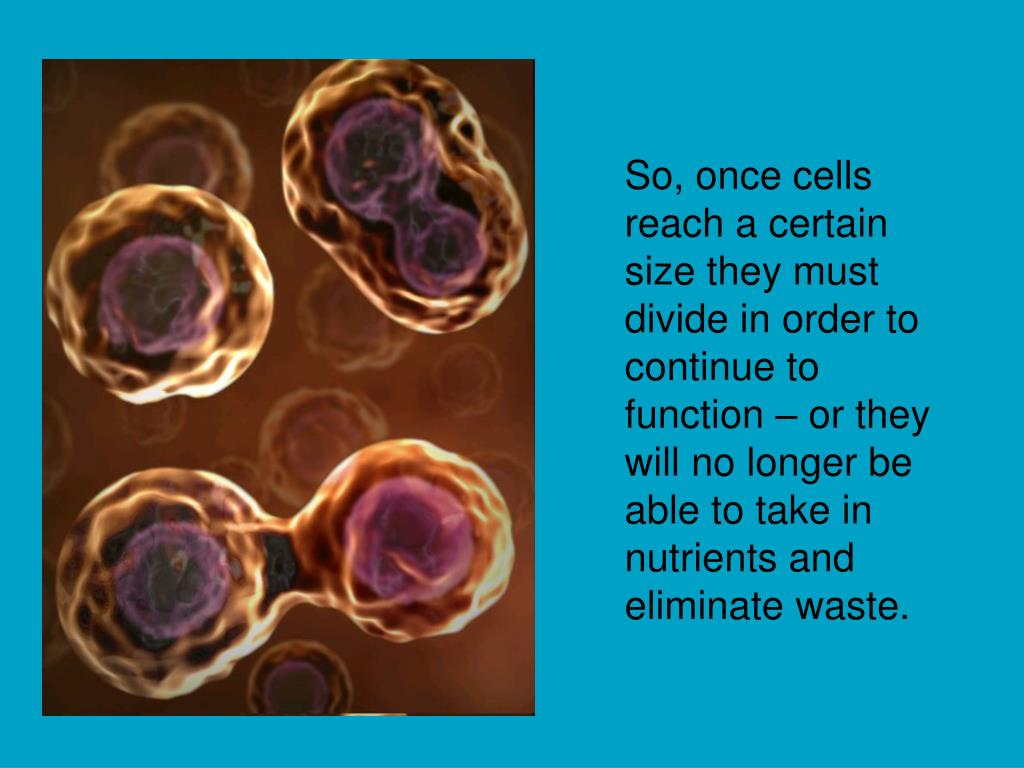 So, once cells reach a certain size they must divide in order to continue to function – or they will no longer be able to take in nutrients and eliminate waste.