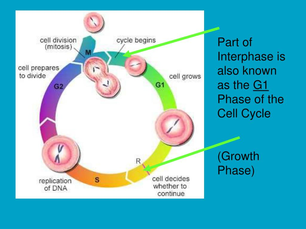 Part of Interphase is also known as the