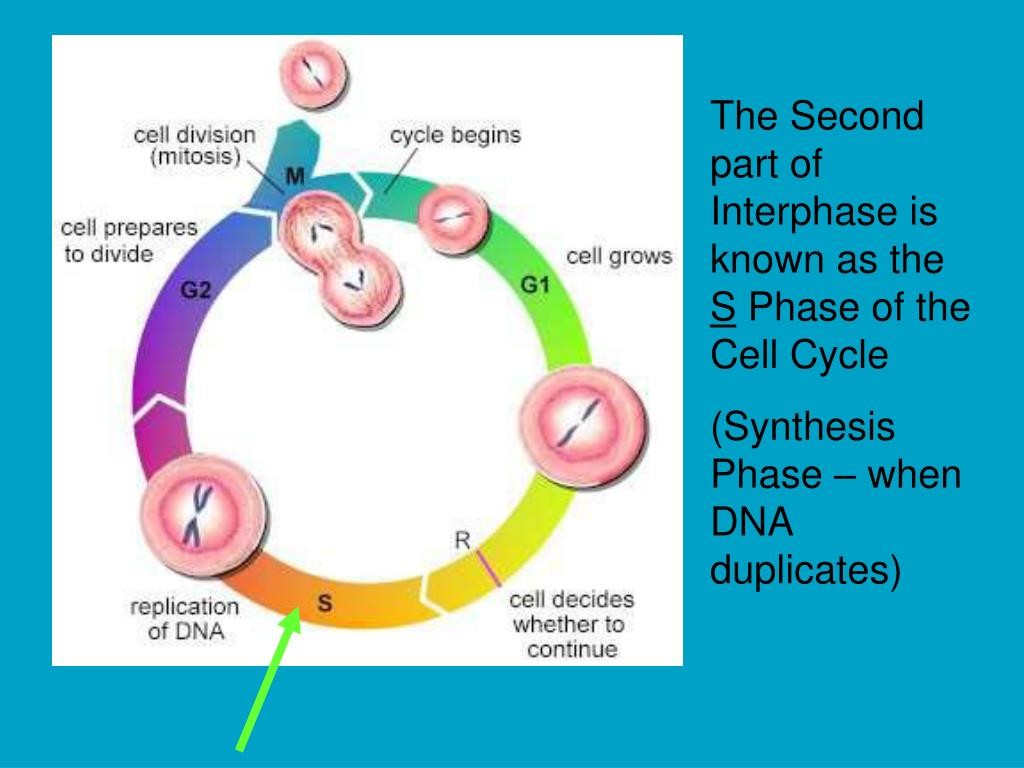 The Second part of Interphase is known as the