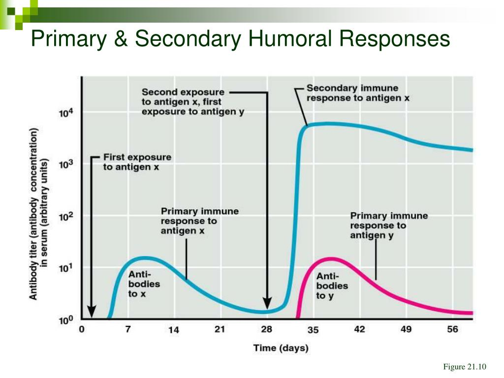 Primary & Secondary Humoral Responses