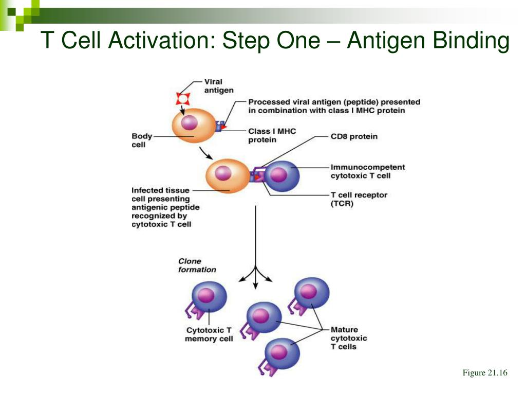 T Cell Activation: Step One – Antigen Binding