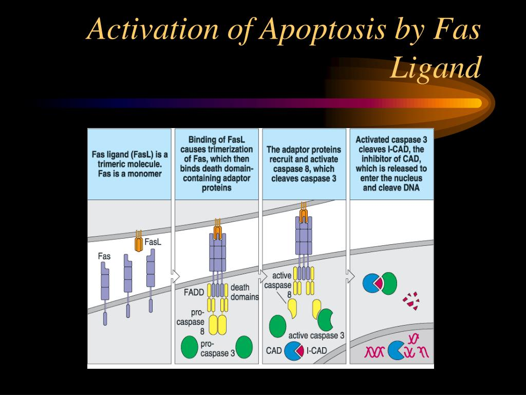 Activation of Apoptosis by Fas Ligand