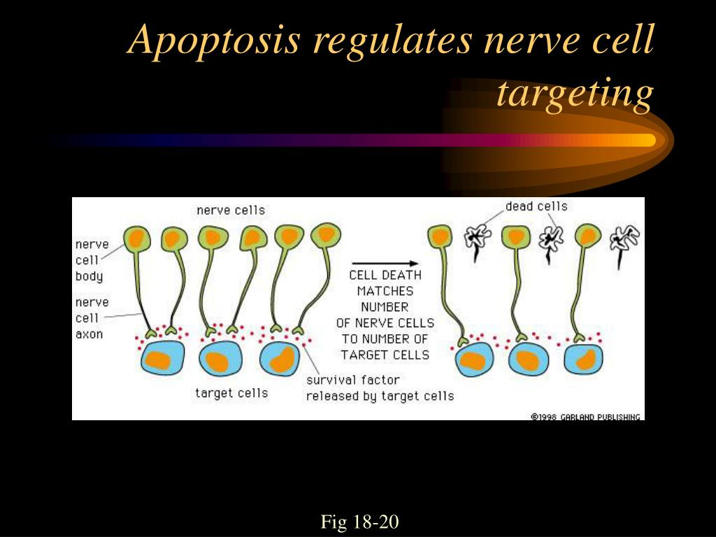 Apoptosis regulates nerve cell targeting