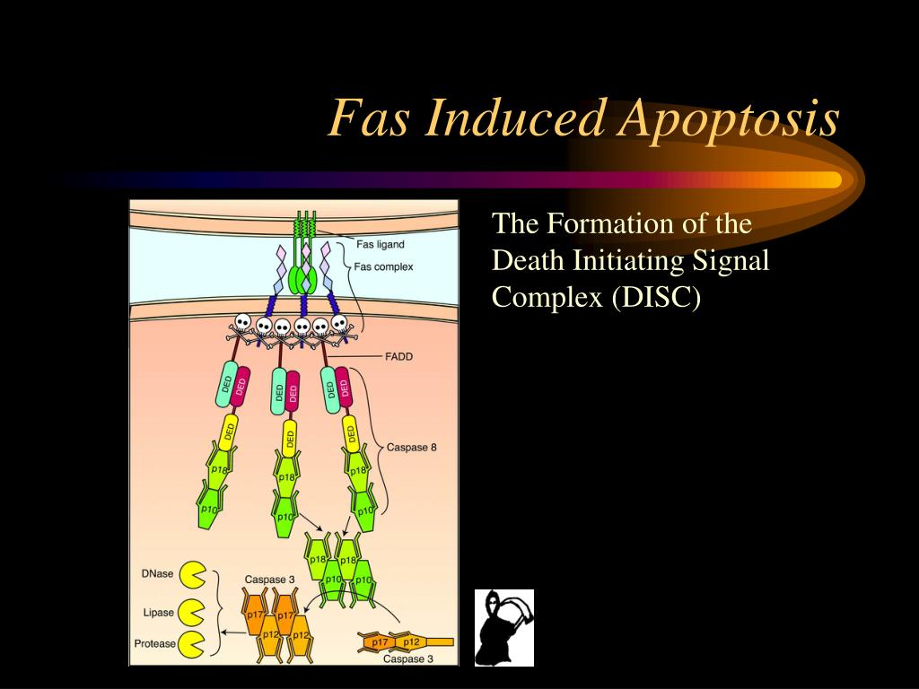 Fas Induced Apoptosis