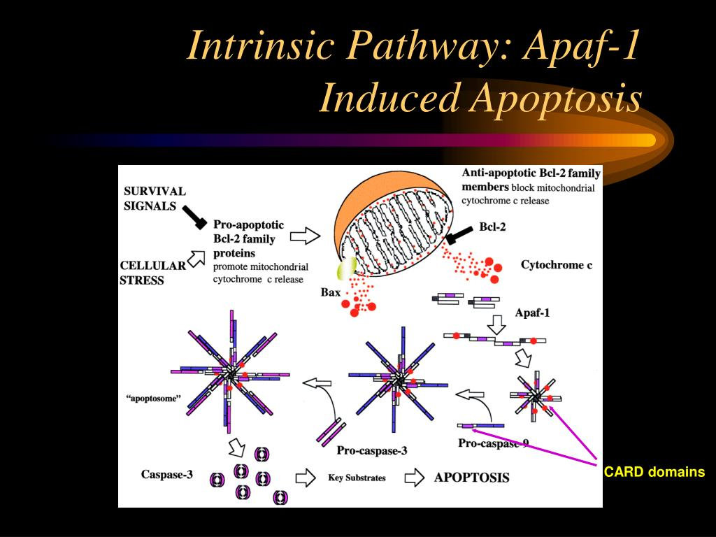Intrinsic Pathway: Apaf-1 Induced Apoptosis
