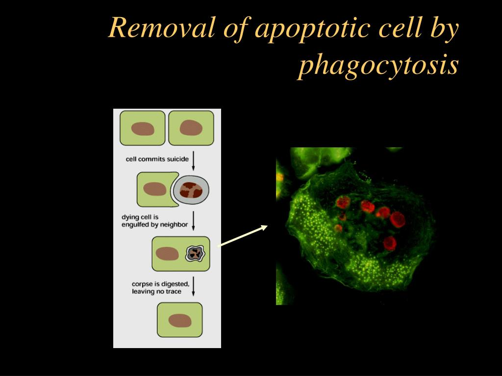 Removal of apoptotic cell by phagocytosis