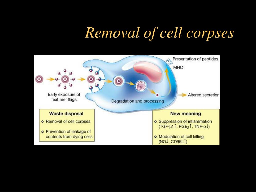 Removal of cell corpses