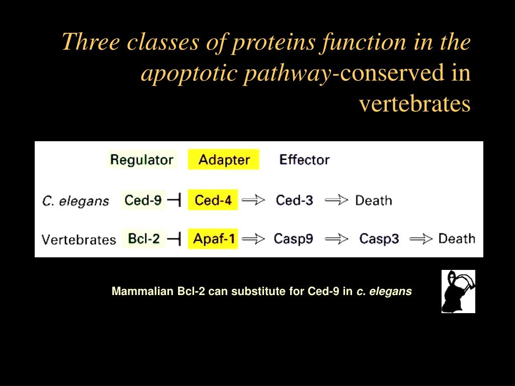 Three classes of proteins function in the apoptotic pathway-